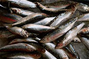 Sardinky - výborný zdroj omega-3 s nízkym obsahom ortute