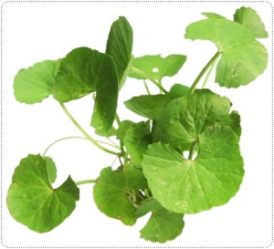 Anti Oxidant Centella Asiatica Extract -1