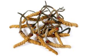 cordyceps-fungus